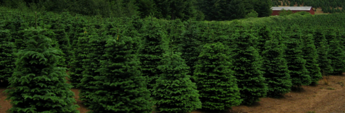 Christmas Tree Farms In And Around Kansas City